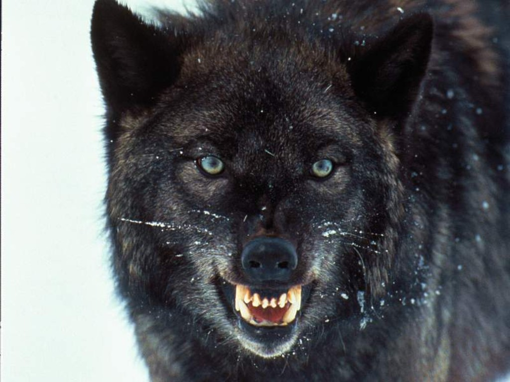 When Is A Wolf Not