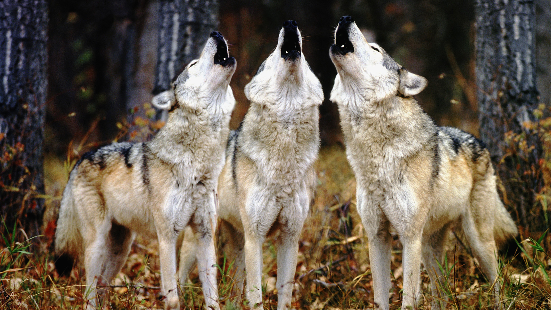 Image result for capitalist dogs howl
