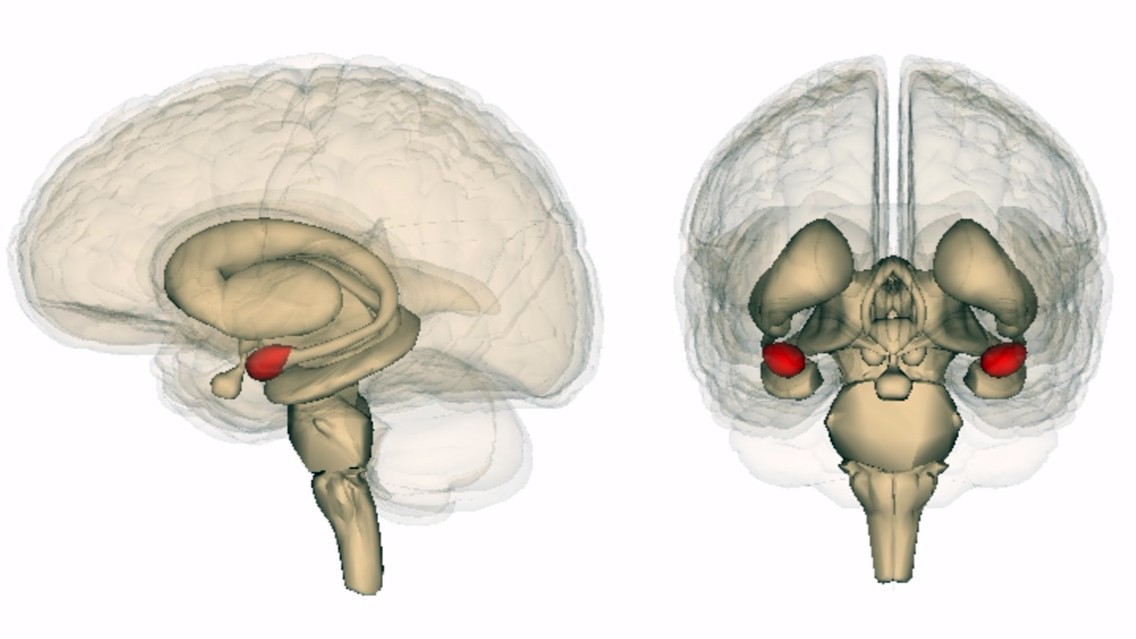 New Study Links PTSD with More Gray Matter in Right Amygdala ...