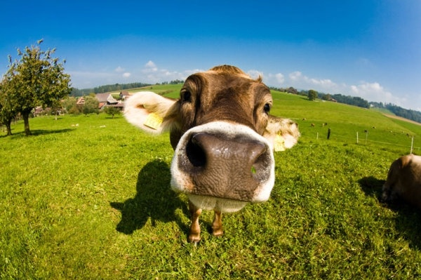 Cows Science Shows Theyre Bright and Emotional Individuals