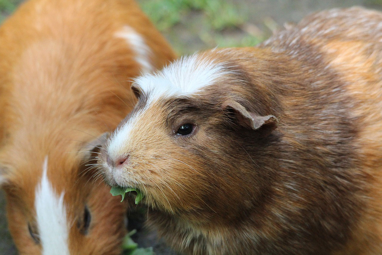 animal assisted therapy the guinea pigs perspective psychology today