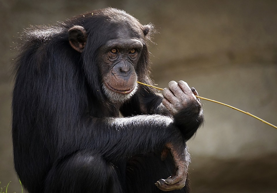 New Chimpanzee Culture Discovered, Others Lost Due to Humans ...