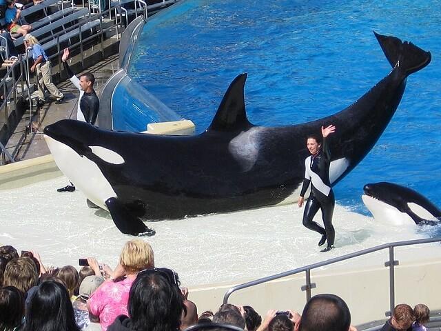 killer whale essay