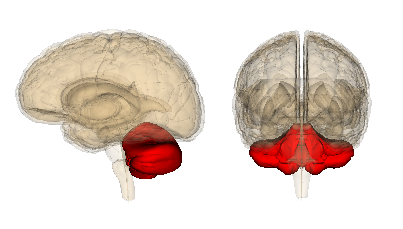 the cerebellum deeply influences our thoughts and emotions, Human Body