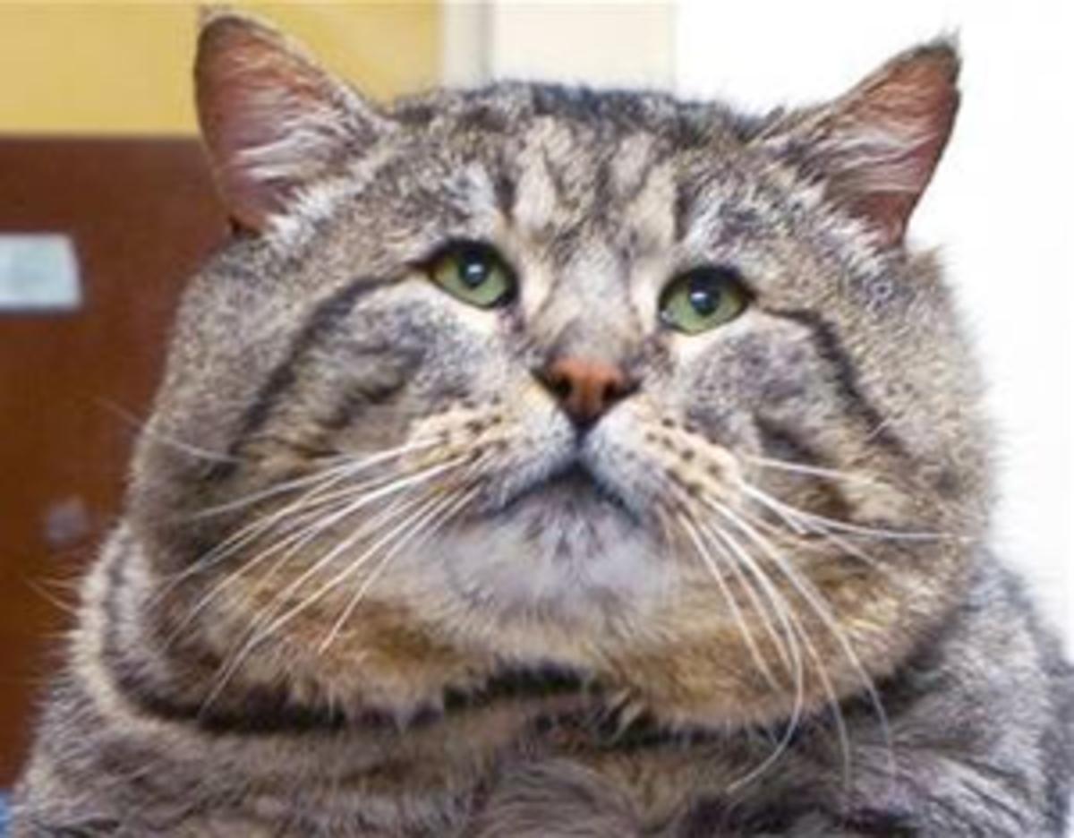 Fat Cat Fiasco