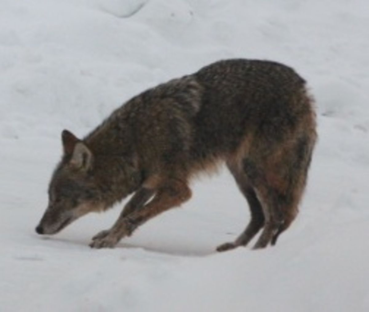 The Eastern Coyote Revealed | Psychology Today