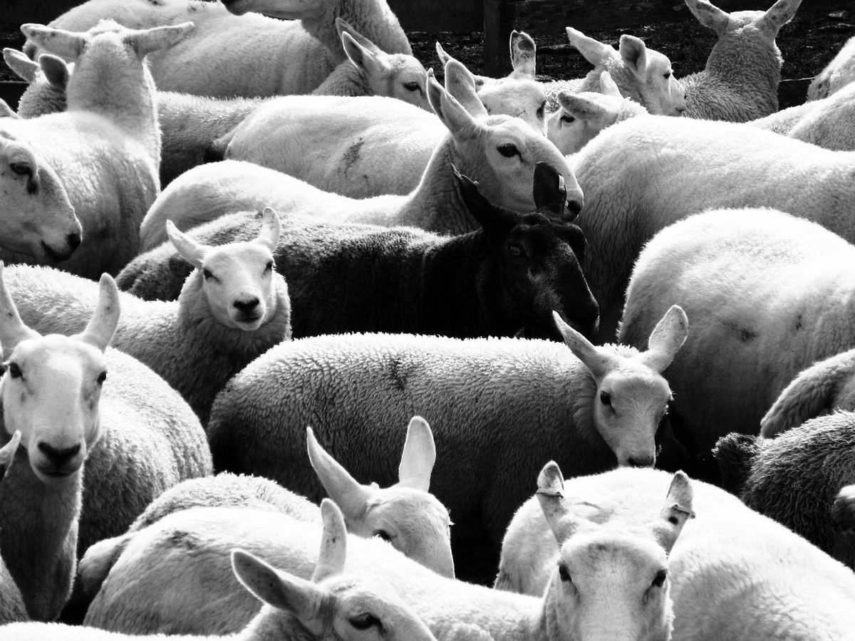 Are You the Black Sheep of Your Family? | Psychology Today