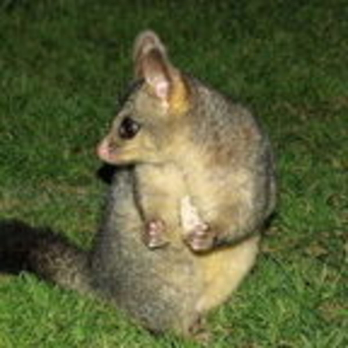 Does Everybody Really Hate Possums? The Bandwagon Effect