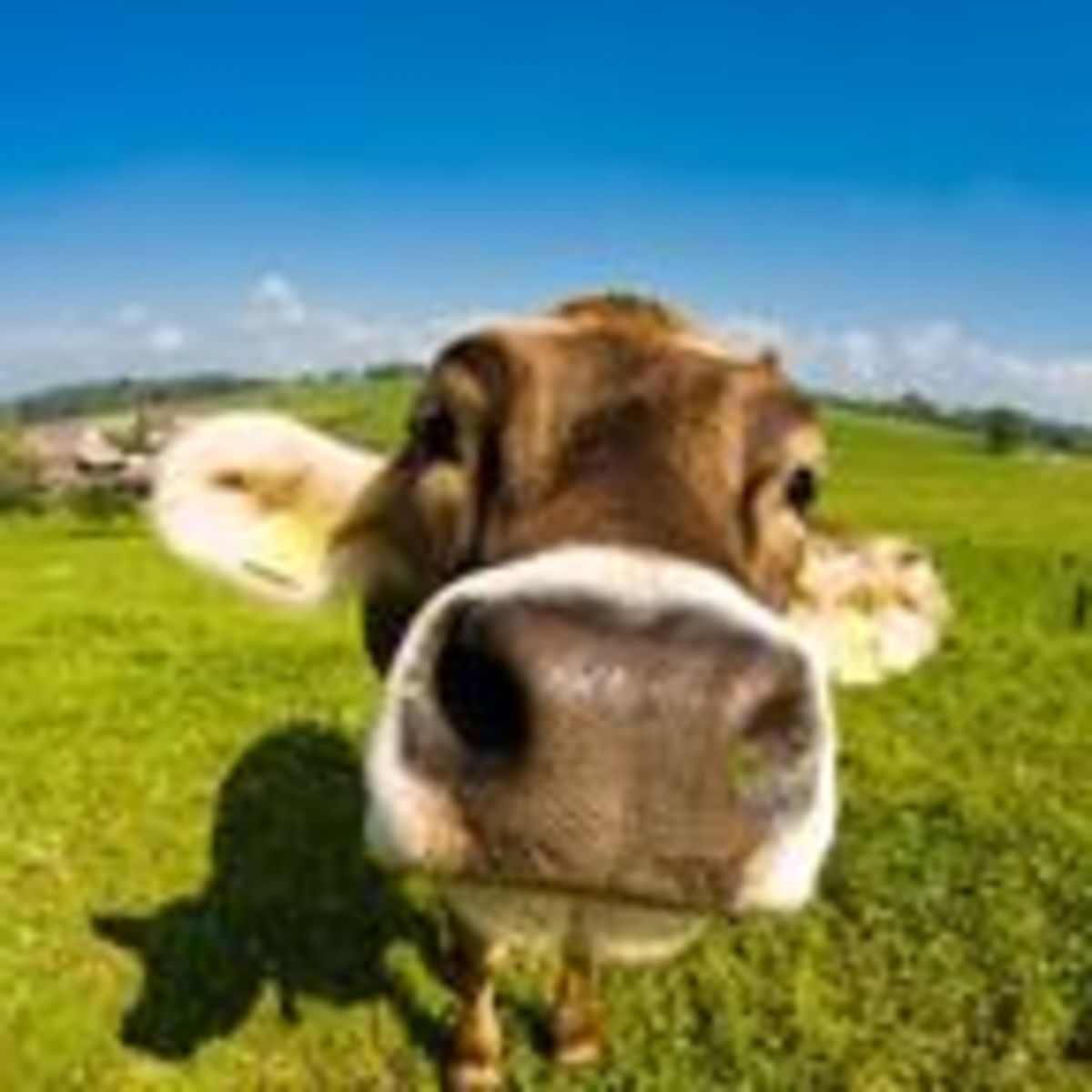 Cows: Science Shows They're Bright and Emotional Individuals