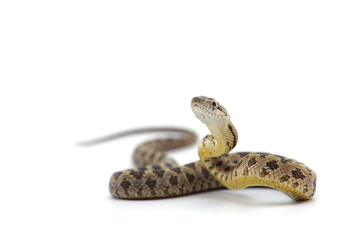 Snake Welfare They Need To Straighten Bodies Science Says Psychology Today Canada