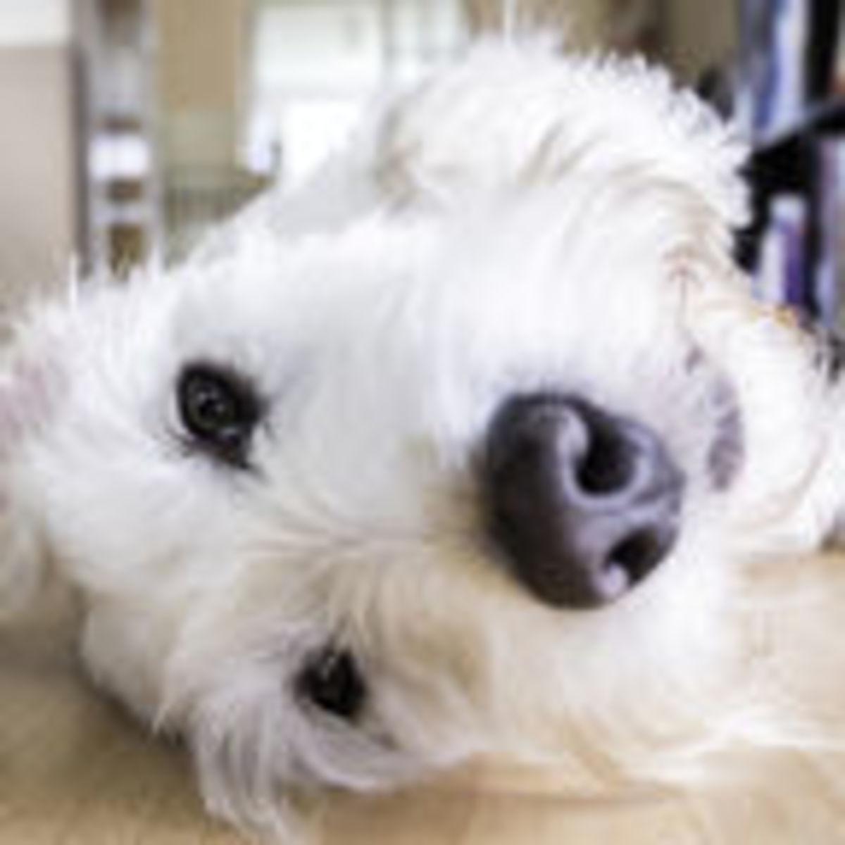 Millennials' Pet Dogs: an Anchor to an Adult World