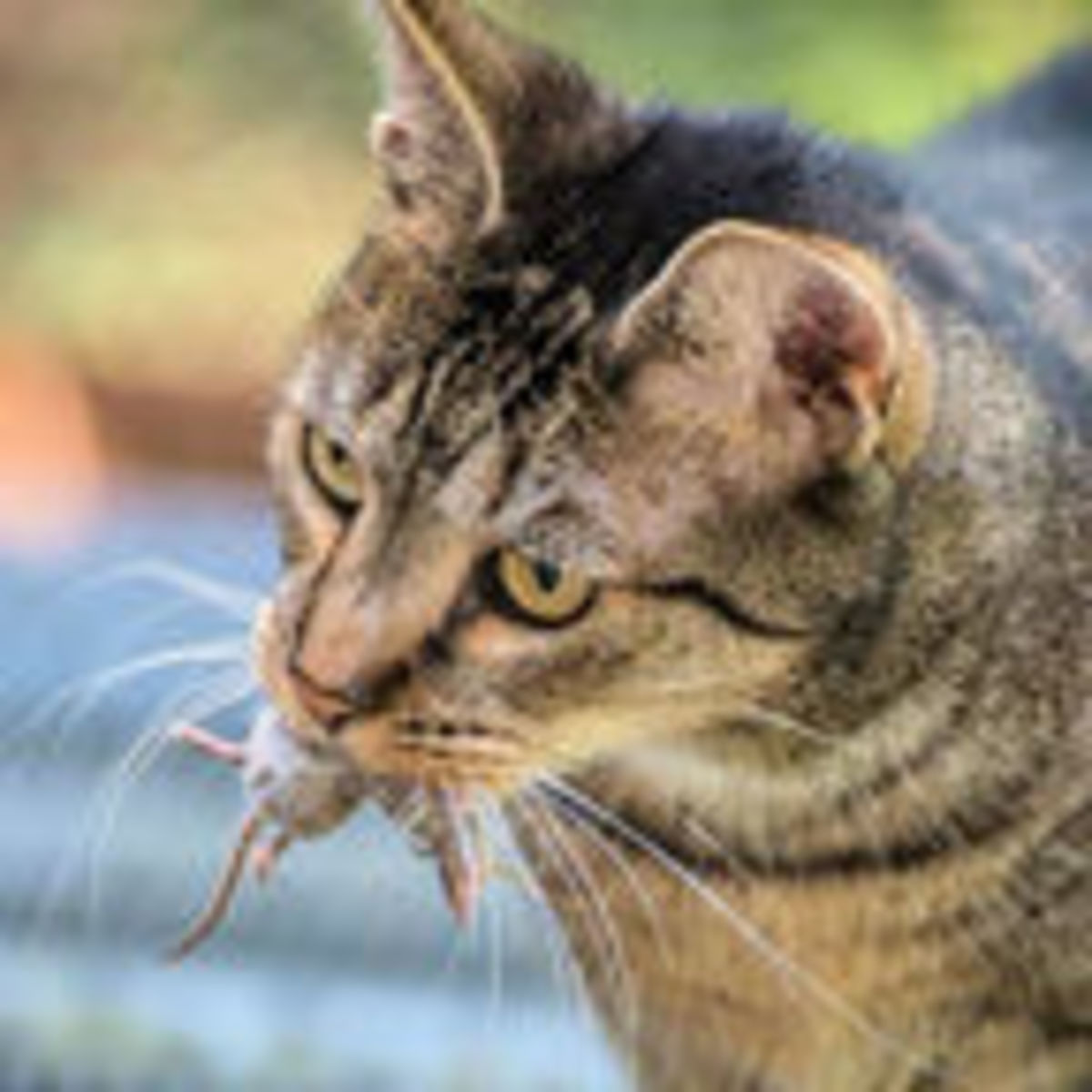 Do Domestic Cats Have a Right To Roam? | Psychology Today