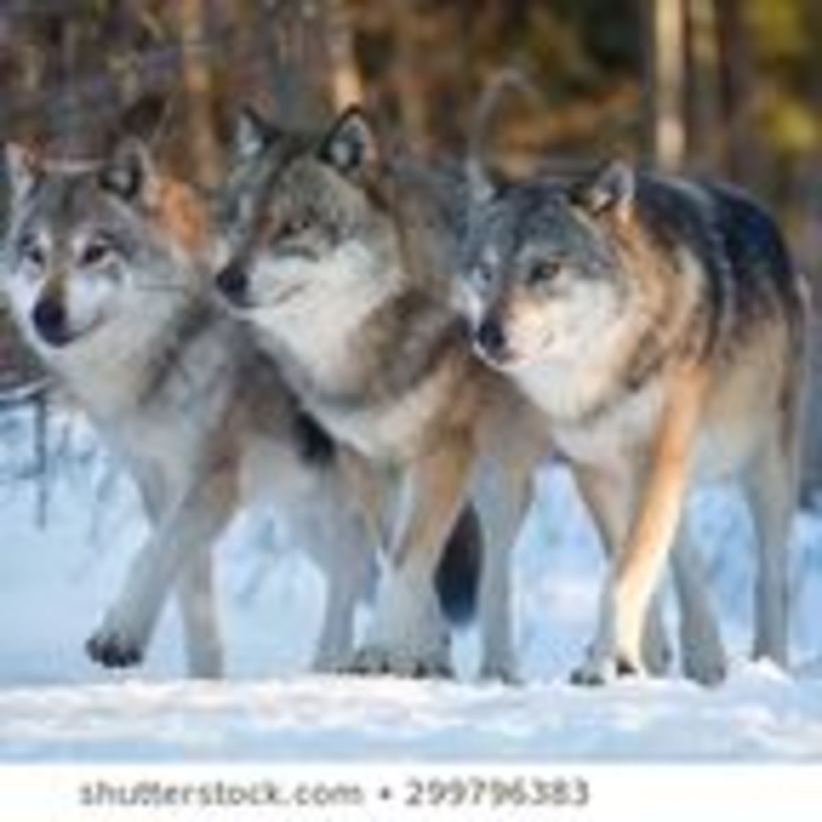 observing wolves essay