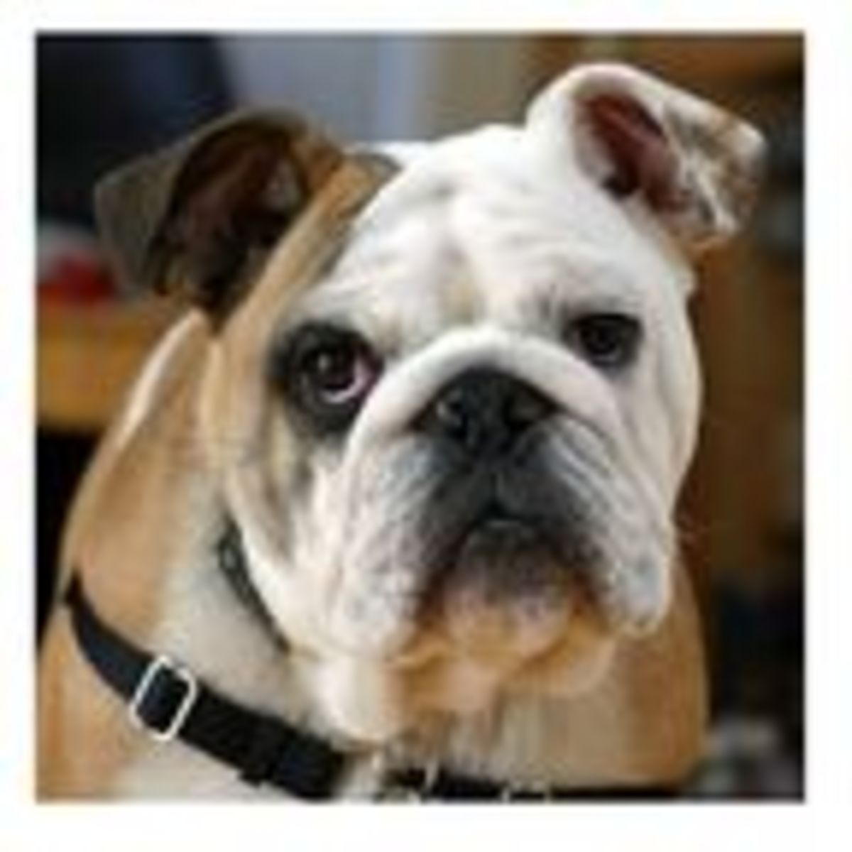 Is the English Bulldog a Doomed Breed? | Psychology Today