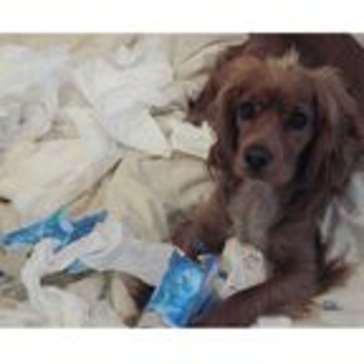 Why Do Dogs Like to Shred Tissues? | Psychology Today