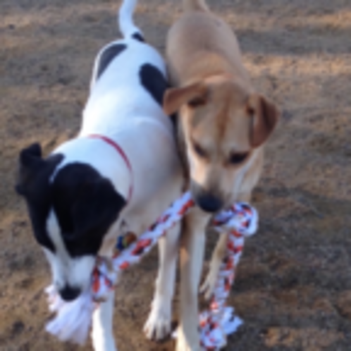 What's Happening When Dogs Play Tug-of-War? Dog Park Chatter