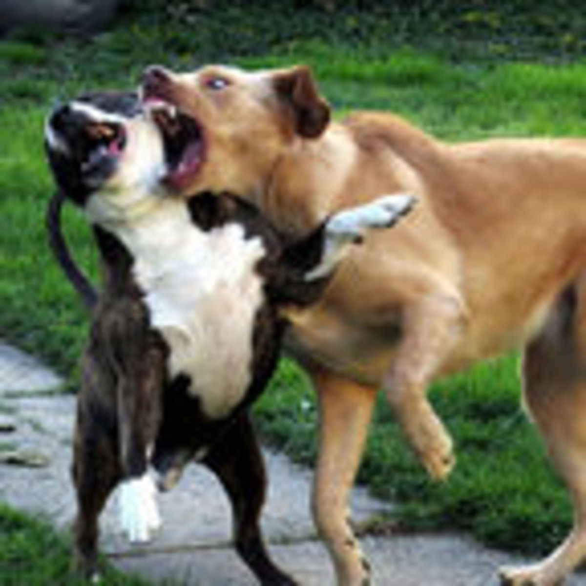 What Is the Best Way to Stop a Dog Fight? | Psychology Today