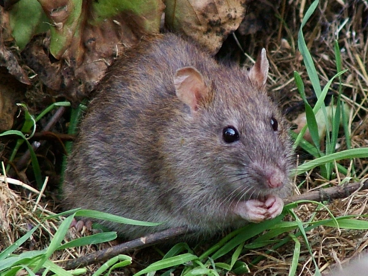 Rats and Responsibility (And a Bit of Camus) | Psychology Today