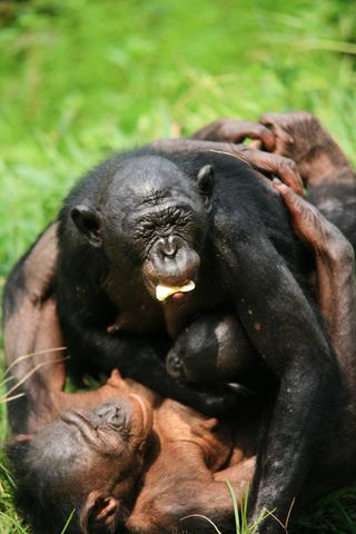 Photo Courtesy of Lola ya Bonobo Sanctuary