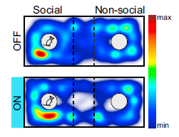 Dorsal Raphe Dopamine Neurons Represent the Experience of Social Isolation. Matthews GA et al., Cell, 2016.