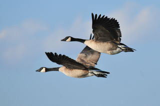 By USFWS Mountain-Prairie - Canada Goose Pair Seedskadee NWR, Public Domain