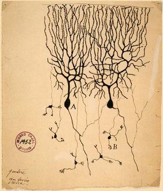 Cajal/ Wikimedia Commons