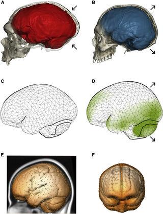 """""""Neandertal Introgression Sheds Light on Modern Human Endocranial Globularity"""" by Gunz et al. (Current Biology, 2018)"""