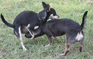 Why Do Dogs Hump? | Psychology Today