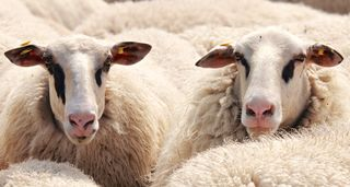 Why Sheep Matter: They're Intelligent, Emotional, and Unique