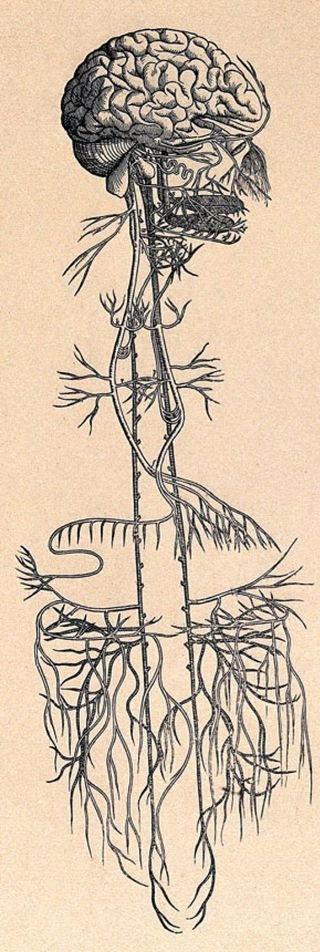 """Early anatomical drawing of the """"wandering"""" vagus nerve.Source: Wellcome Library/Public Domain"""