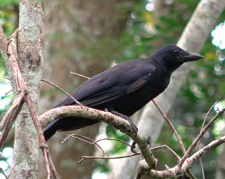 Corvus Moneduloides, via Flickr. Distributed under a CC BY-NC-SA 2.0 license.