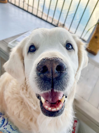 Looking At Pictures Of Dogs Improves Well Being Psychology Today Now accepting photos of hybrids, crossbreeds and designer dogs. pictures of dogs improves well being