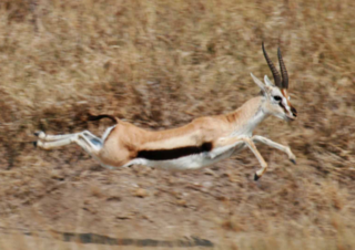 Thomson's gazelle in flight from a cheetah attack by Lee R. Berger/Wikimedia Commons, CC-BY-SA 3.0