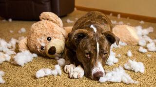 Do Dogs Really Feel Guilt? An Informal Demonstration