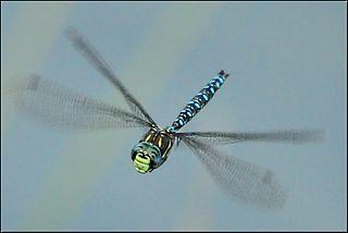 By Shanthanu Bhardwaj (Dragonfly  Uploaded by ComputerHotline) [CC BY-SA 2.0], via Wikimedia Commons