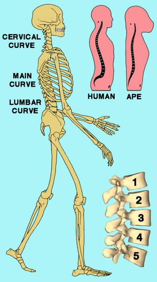 Adapted from an original illustration Martin (1992), with addition of an image of the lumbar vertebrae from Anatomography, Wikimedia Commons