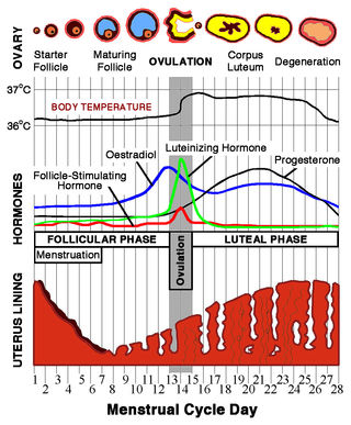 Coping with hormonal ups and downs psychology today chris 73 wikimedia commons licensed under the creative commons attribution share alike 30 diagram of an average menstrual cycle ccuart Gallery