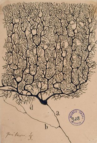 Ramón y Cajal / Public Domain