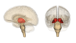 The thalamus (red).