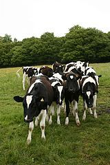 Cows ©  Katy Walker / wikimedia commons