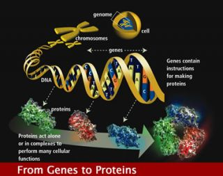 Image: From Genes to Proteins, Human Genome Project