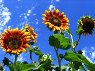 Sunflowers against the backdrop of a gorgeous blue sky.