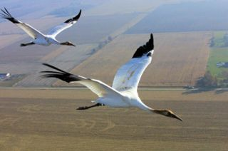 Whooping cranes on migration