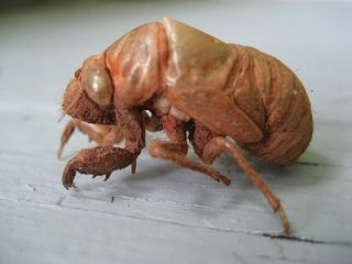 Searching for Cicada Shells | Psychology Today