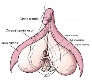 Where do you find the clitoris