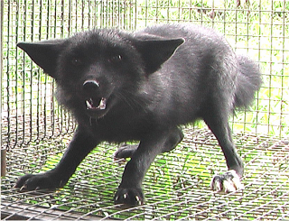 Arctice fox