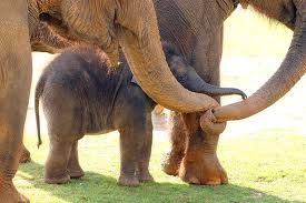 Three adult elephants standing around baby elephant, trunks lovingly entwined