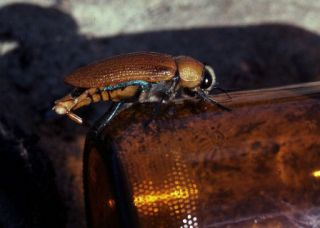 a jewel beetle mounting a beer bottle