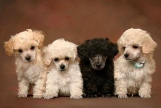 poodle puppy dog dogs canine canines genetic litter reproduction breeding sex
