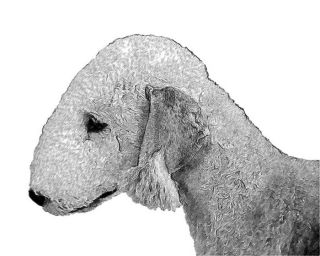 dog ear filbert bedlington terrier